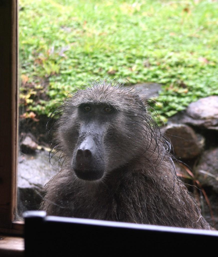 Wet baboon