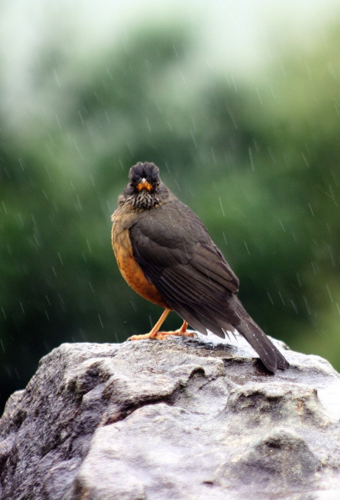 Thrush in the rain