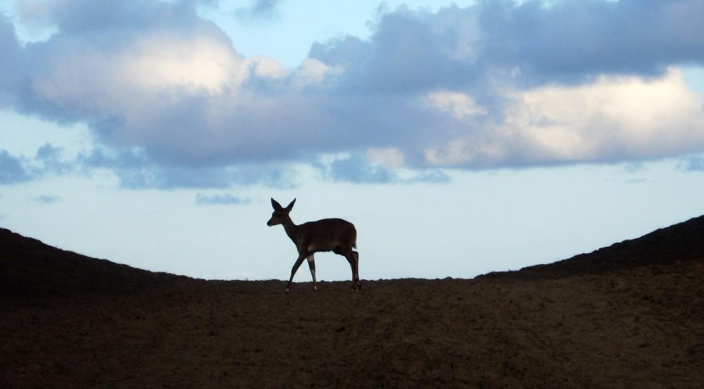Buck on beach