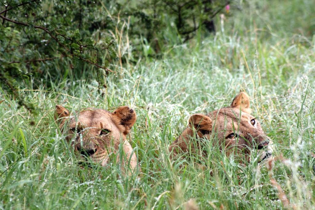 Lionesses Hluhluwe