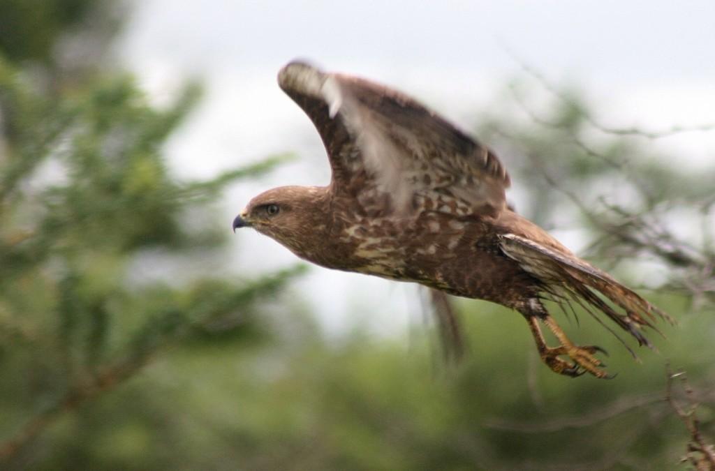 Steppe buzzard take off