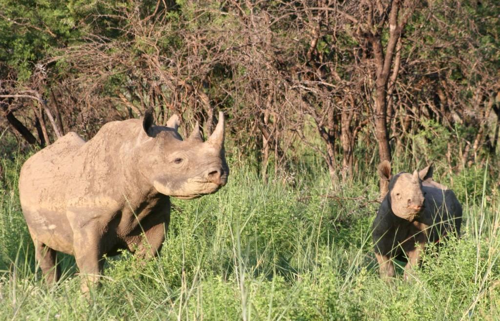 Black rhino & calf