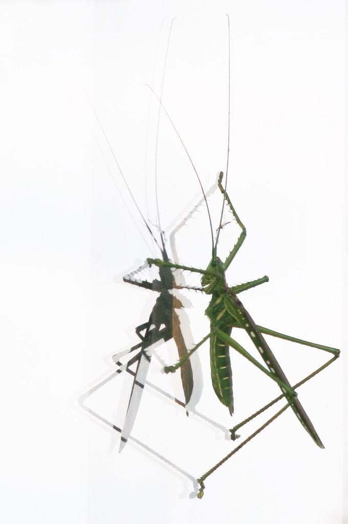 Double image locust