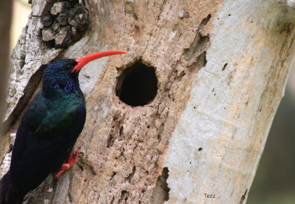 Red billed wood hoopoe nest